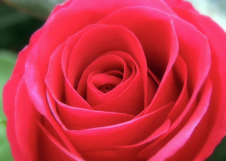 I Love Red Roses Photograph