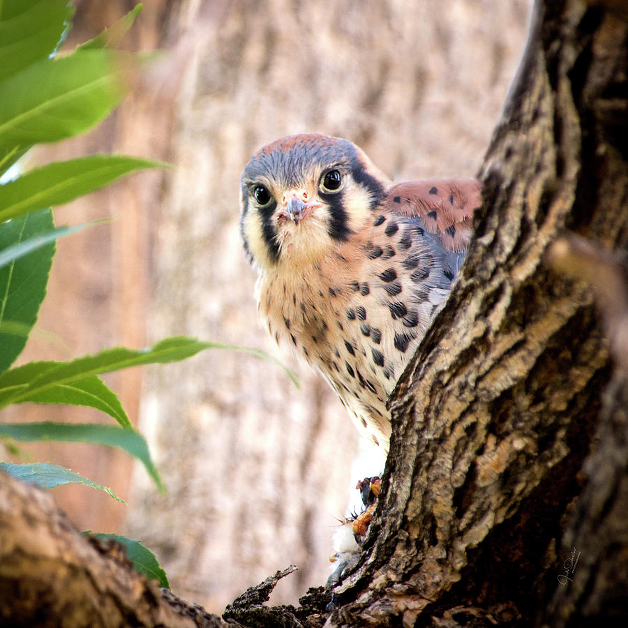 I see you -- Young Kestrel with Dinner by Judi Dressler