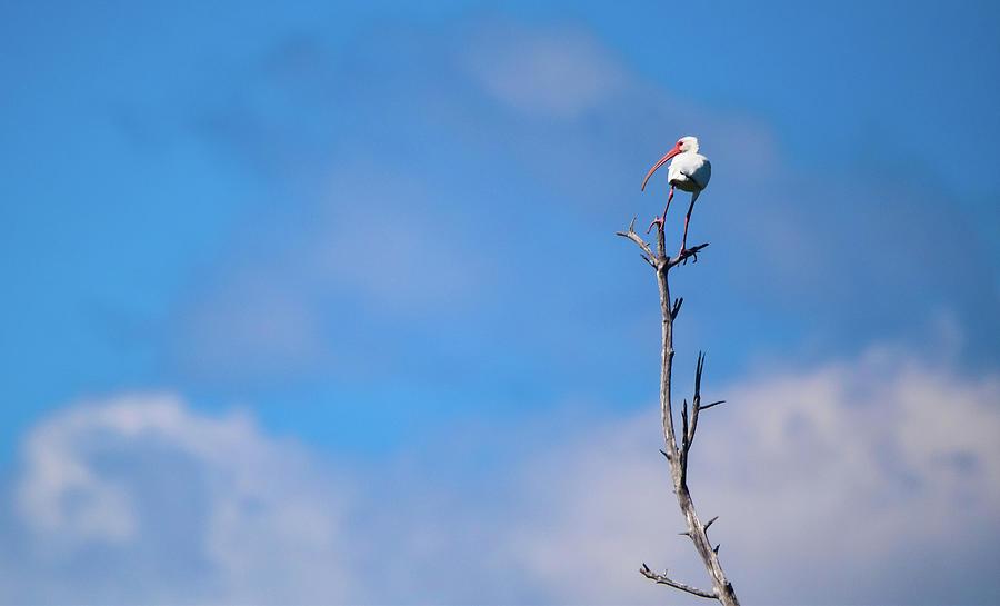 Ibis Photograph