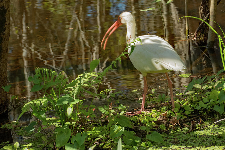 Ibis on the Hunt in the Swamp by Margaret Zabor