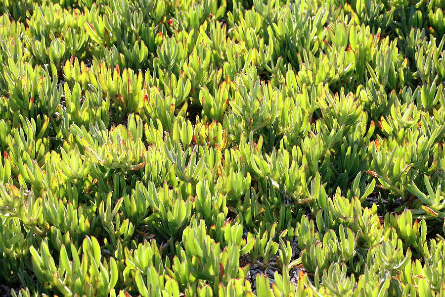 Ice Plants Everywhere Photograph