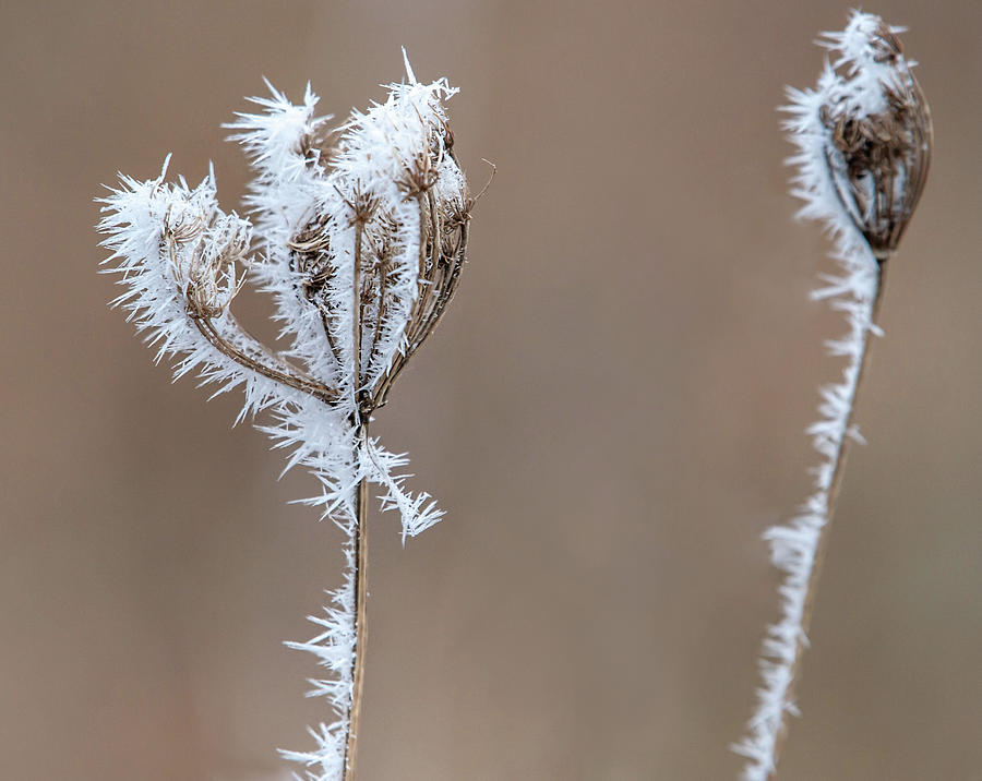 Iced Queen Ann's Lace by Lara Ellis