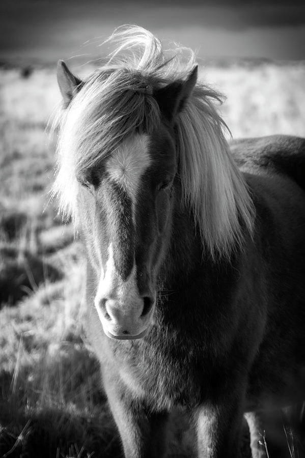 Icelandic Horse Black and White Portrait by Catherine Reading