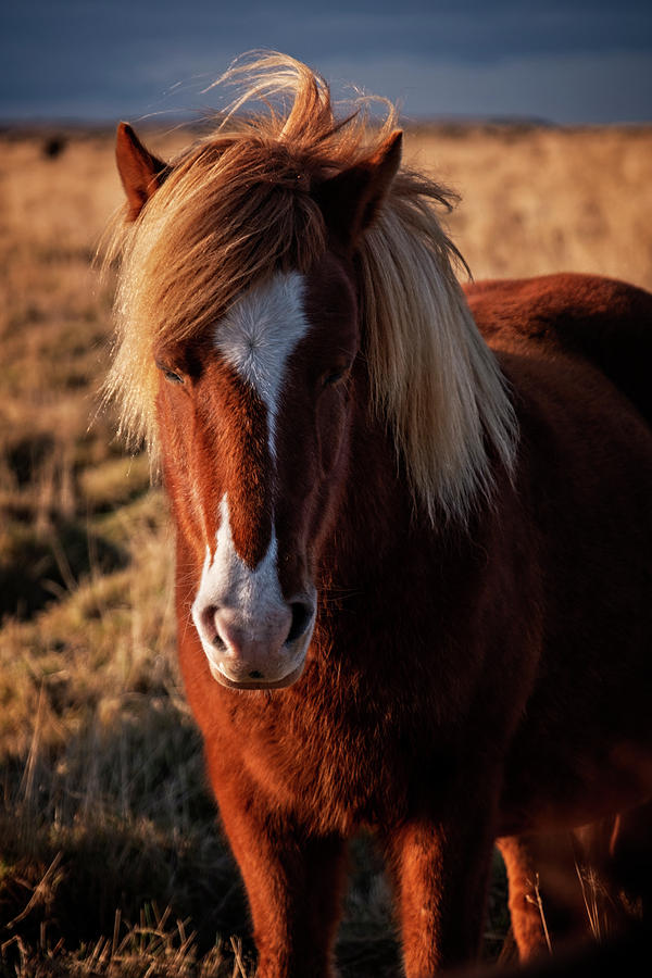 Icelandic Horse Portrait by Catherine Reading