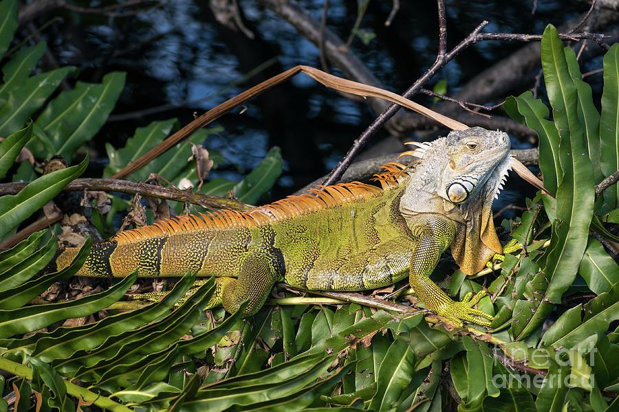 Iguana in a tree by Les Palenik