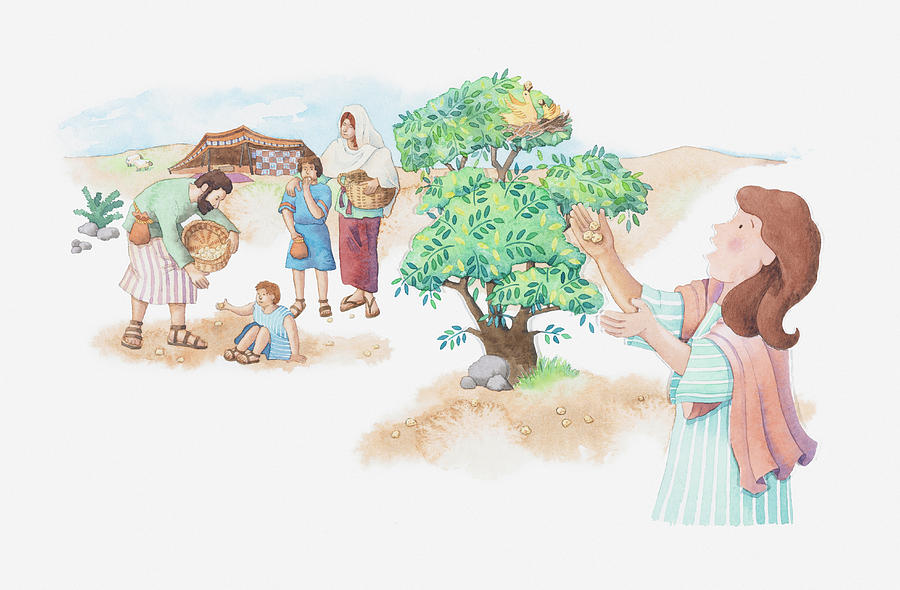 Illustration of a bible scene, Exodus 16, Manna and Quail, God provides meat and bread for the starving Israelites in the desert Drawing by Dorling Kindersley