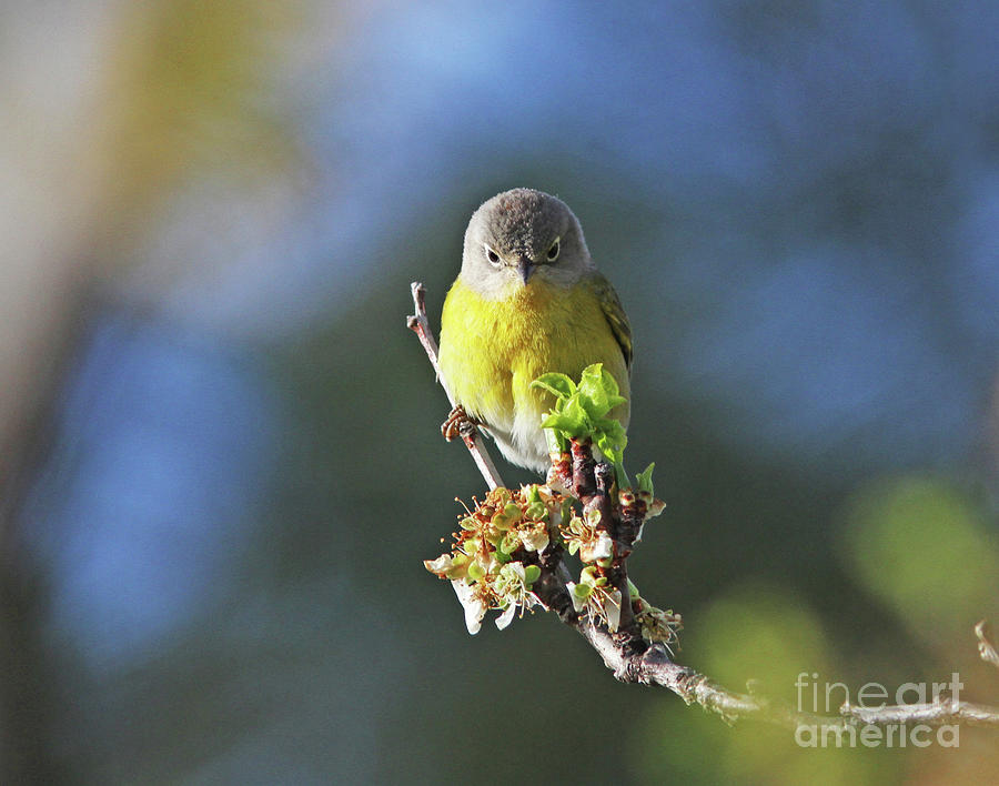 Nashville Warbler Photograph - Im Watching You by Gary Wing