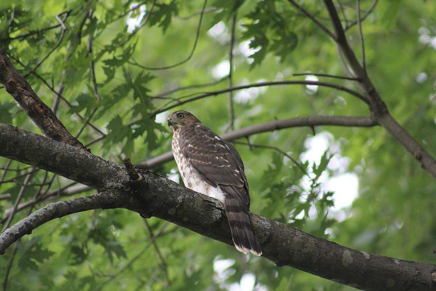 Cooper's Hawk Photograph - Immature Coopers Hawk by Callen Harty