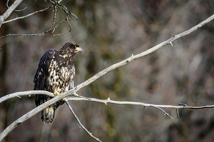 Immature Eagle by John Wilkinson