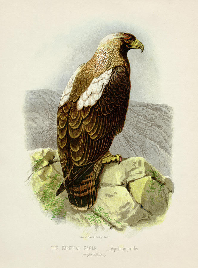 Imperial Eagle - Aquila Imperialis Painting