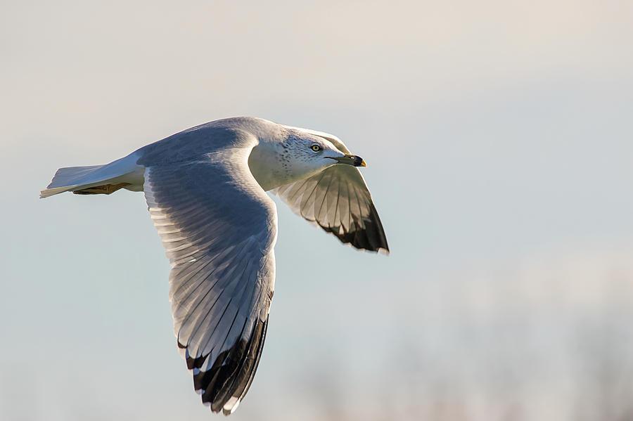 In Flight - Ring-billed Gull - Larus delawarensis by Spencer Bush