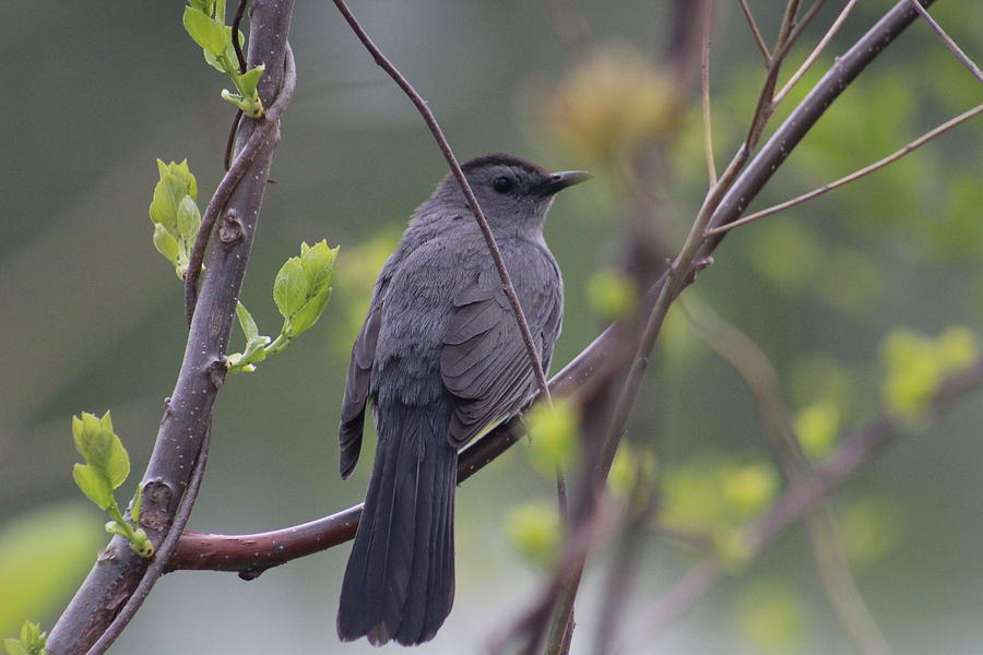 Gray Catbird Photograph - In The Catbird Seat by Callen Harty