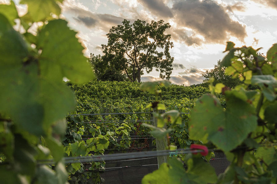 In The Vines Photograph by Kristopher Schoenleber