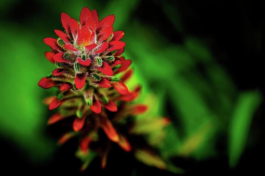 Indian Paintbrush In The Tropics Photograph