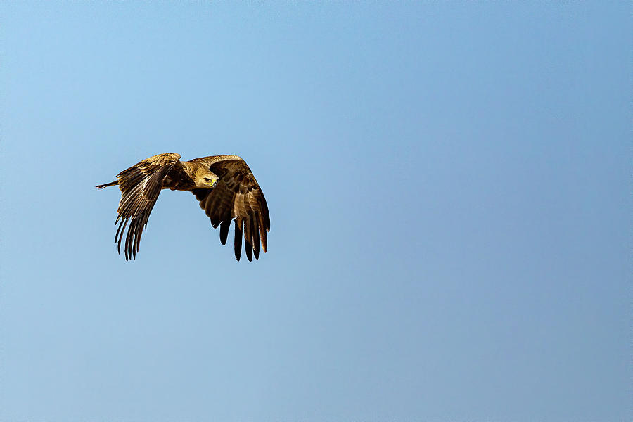 Indian Spotted Eagle by Kay Brewer