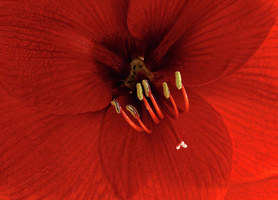Inner Red Amaryllis Photograph