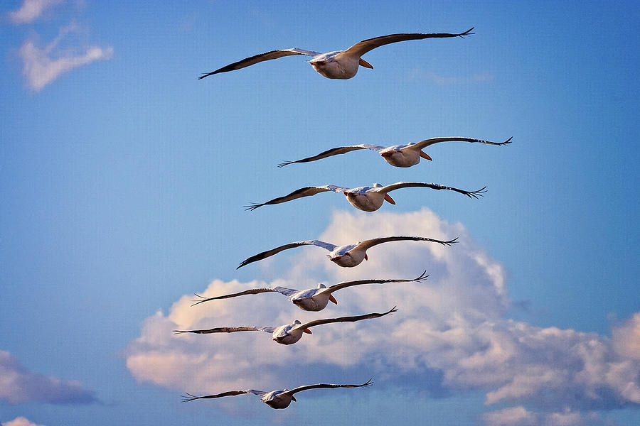 American White Pelican Photograph - Into the Clouds by Jack and Darnell Est