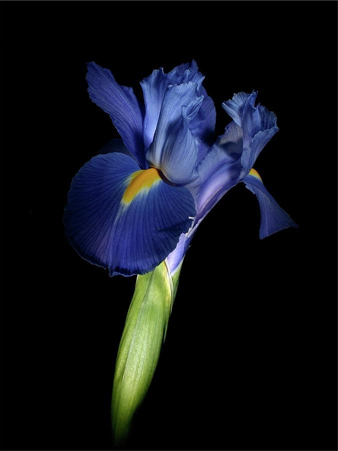 Macro Photograph - Iris 041807 by Julie Powell