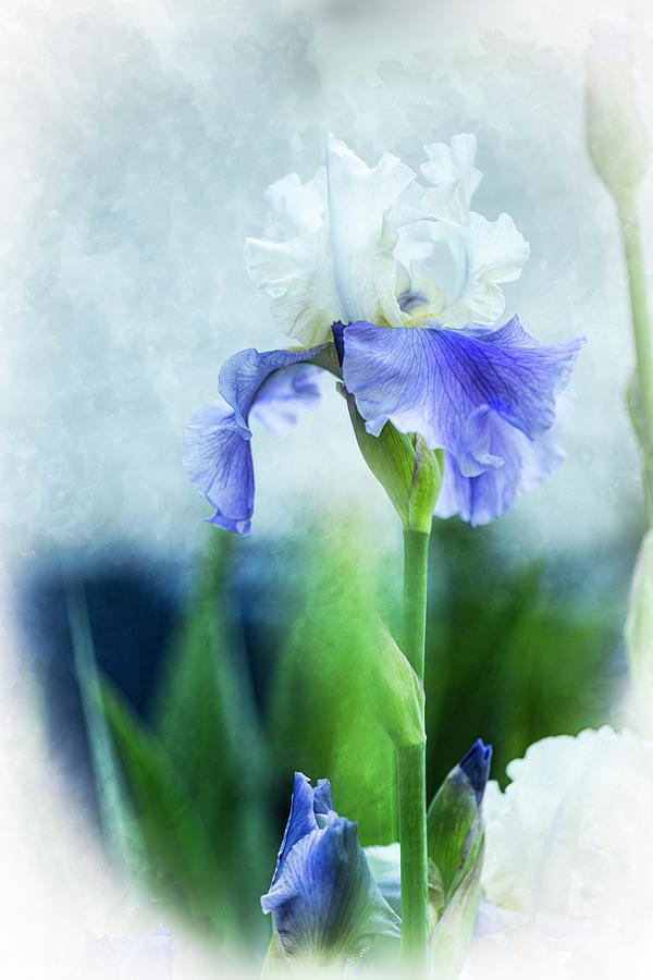 Iris-blue And White Iris Photograph