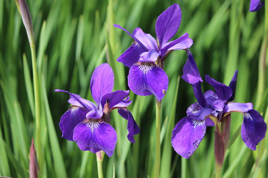 Iris Photograph - Irises by Callen Harty