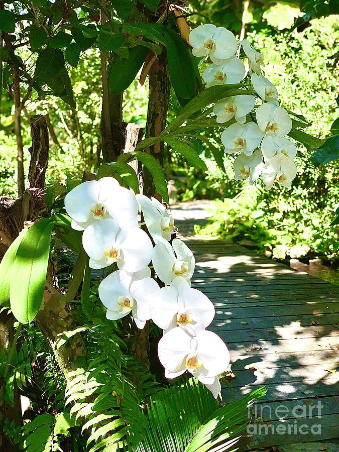 Island Orchids Photograph