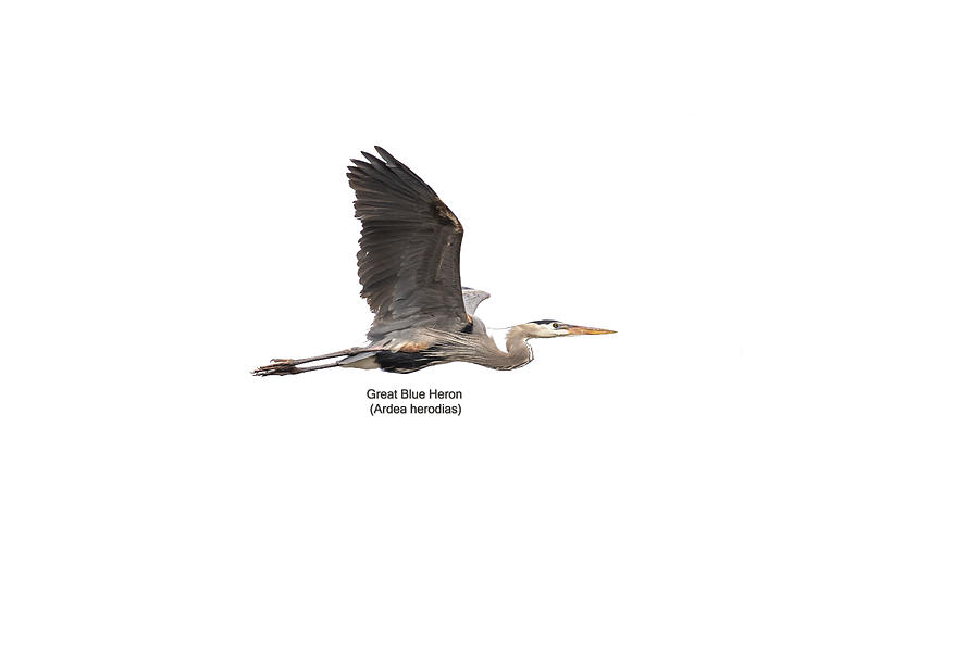 Isolated Great Blue Heron 2019-3 by Thomas Young