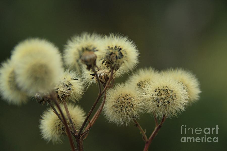 Dandelions Photograph - Its a fuzzy world by Roland Stanke