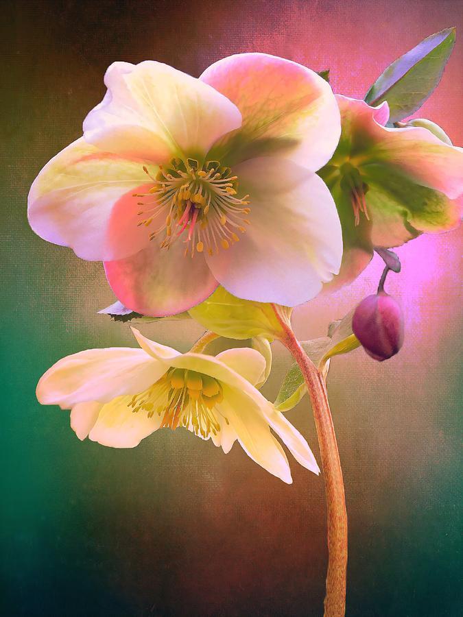 Ivory Prince Lenten Rose Photograph
