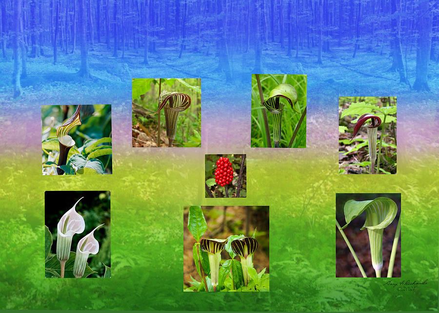 Jack-in-the-pulpit Diversity And Faith Photograph