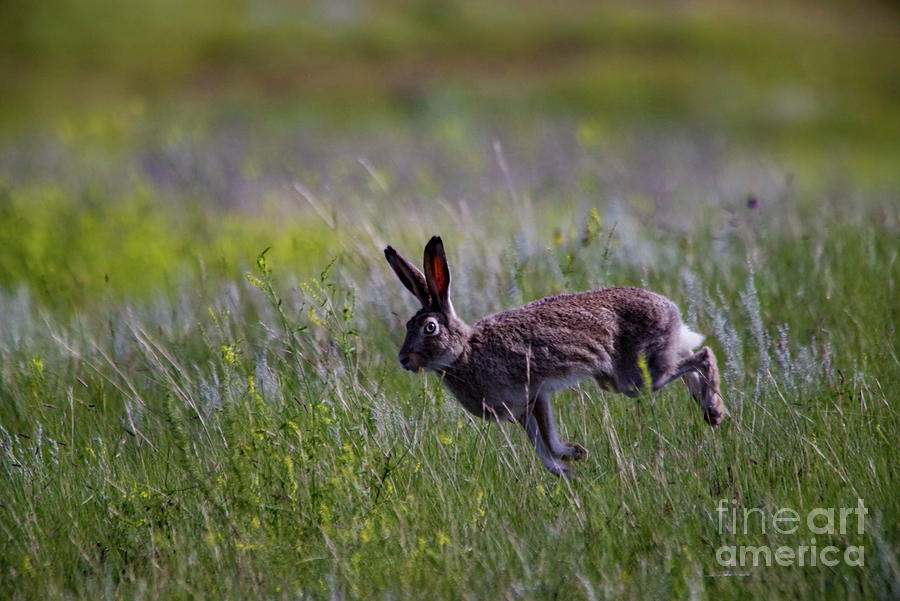 Jack Rabbit On The Go Photograph