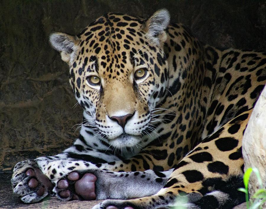 Jaguar Photograph - Jaguar by Odessa Kelley