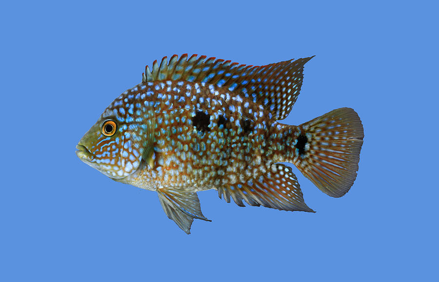 Fish Photograph - JanGerwinTexasCichlid by SICB ArtInBiology