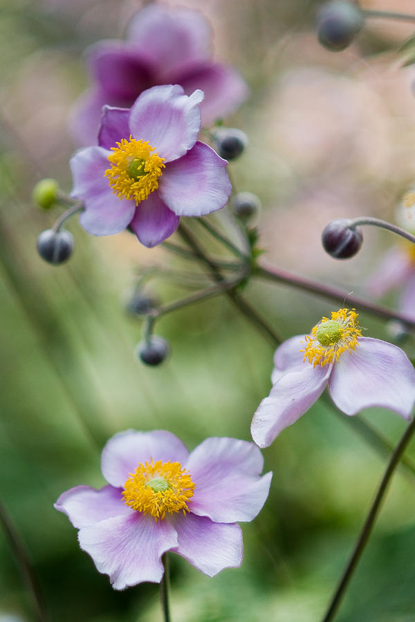 Japanese Anemone Photograph - Japanese Anemone - 138203 by Marcio Faustino