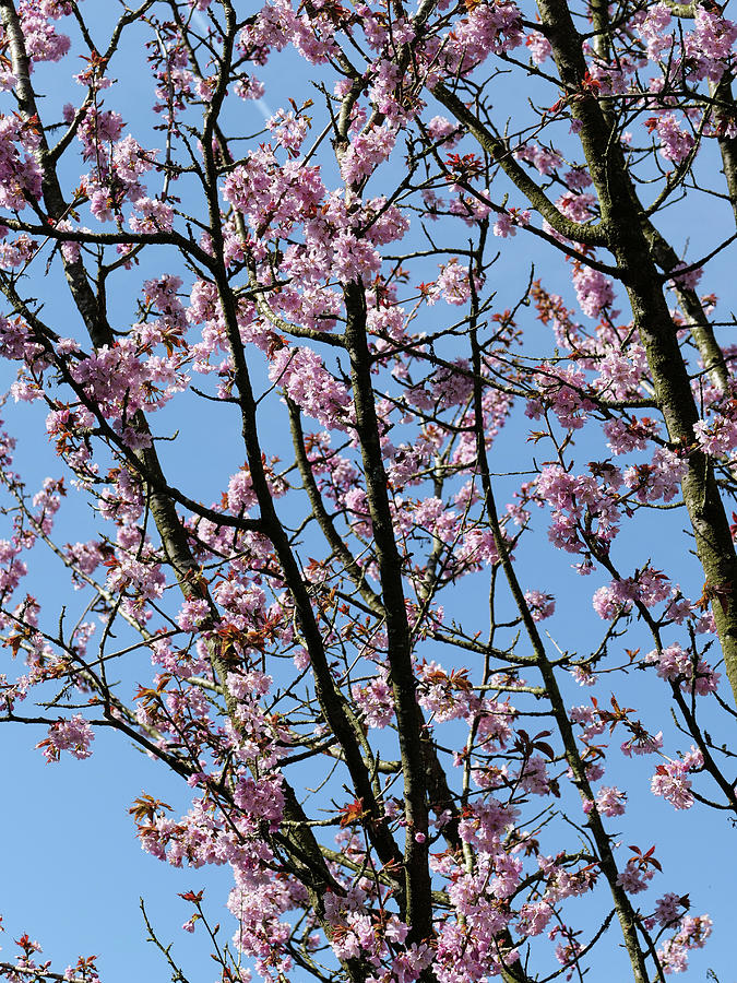 Japanese Cherry Blossom Flowers Photograph
