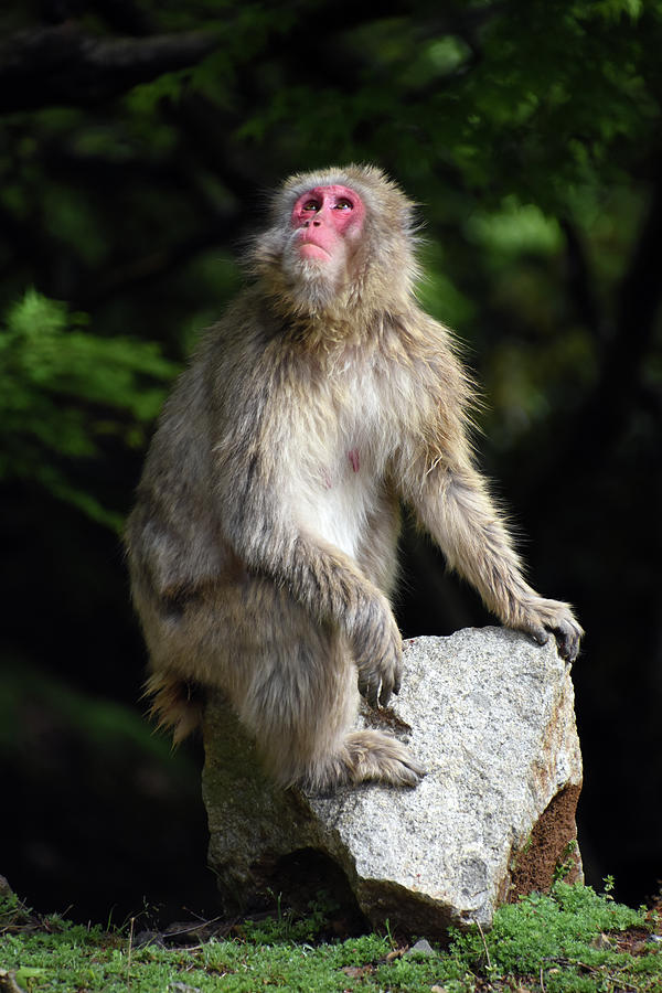 Japanese Macaque at Arashiyama in Kyoto Japan by Loren Dowding
