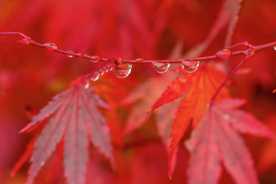 Japanese Maple in the Rain by Robert Potts