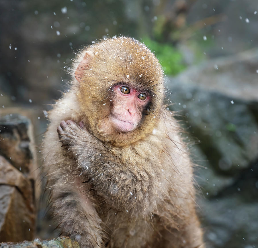 Japanese Snow Monkey II Photograph