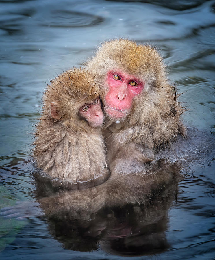 Japanese Snow Monkey Mom And Baby II Photograph
