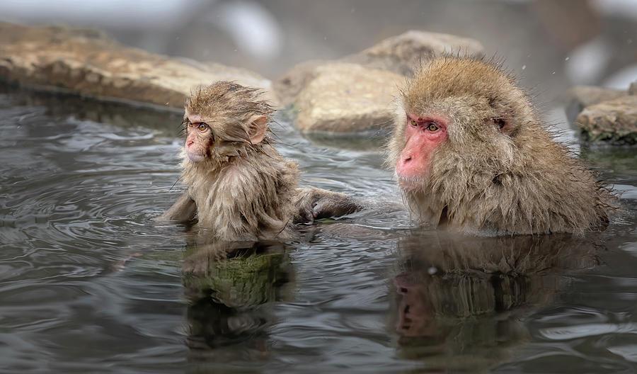 Japanese Snow Monkey Mom And Baby IIi Photograph