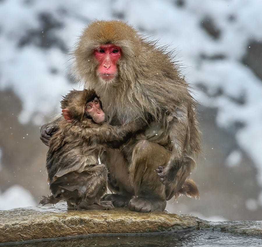 Japanese Snow Monkey Mom And Baby Photograph