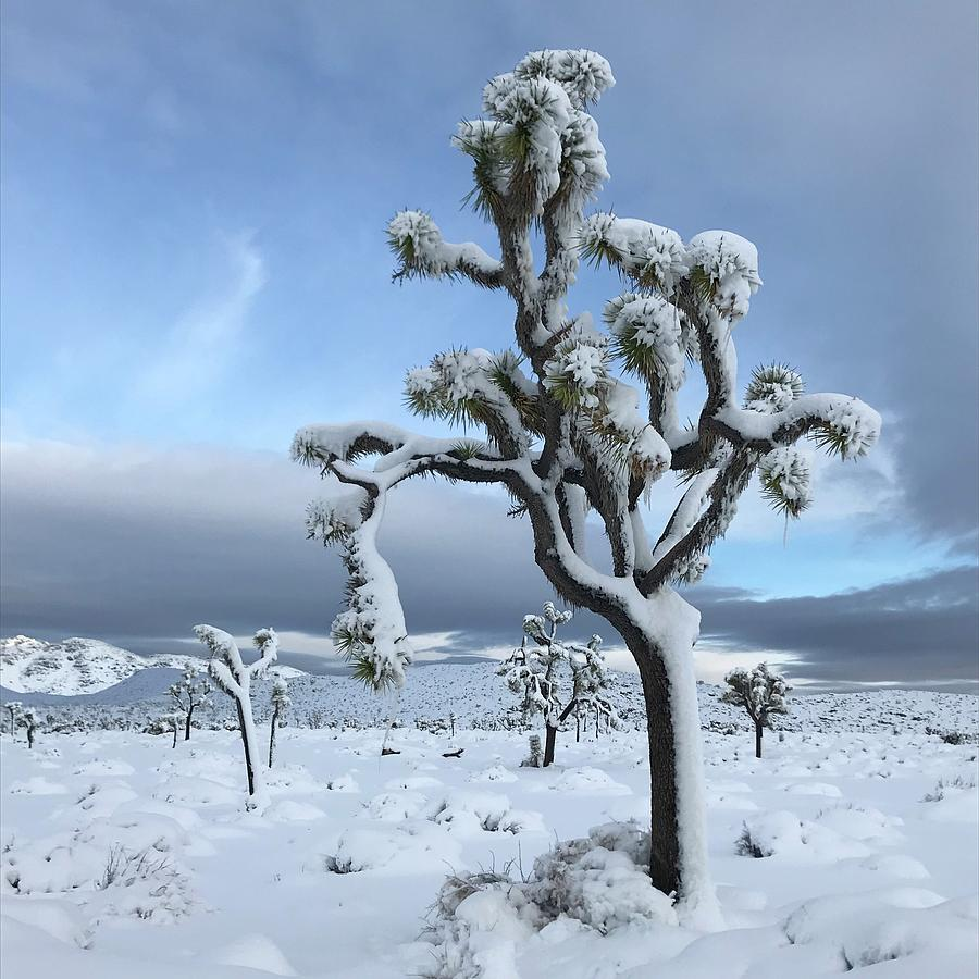 Josha Tree in the Snow by Perry Hoffman