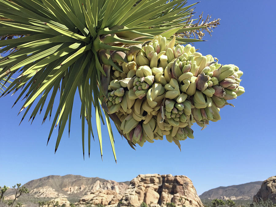 Joshua Tree Bloom Photograph by Frick And Hammons