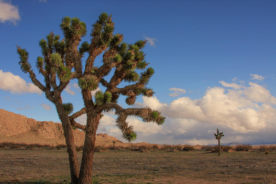 Joshua Tree In The Mojave Desert Photograph By Felipe Sanchez