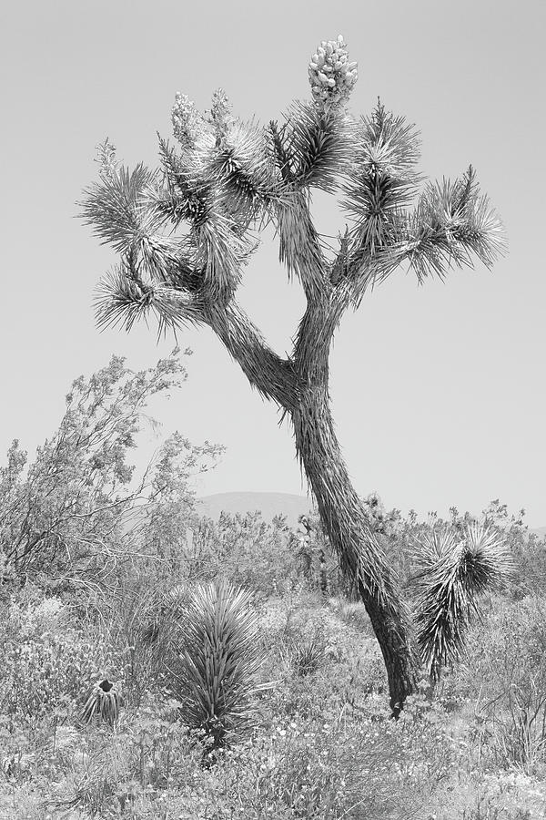 Joshua Tree National Park - Trees And Wildflowers - Black And White Monochrome Photograph