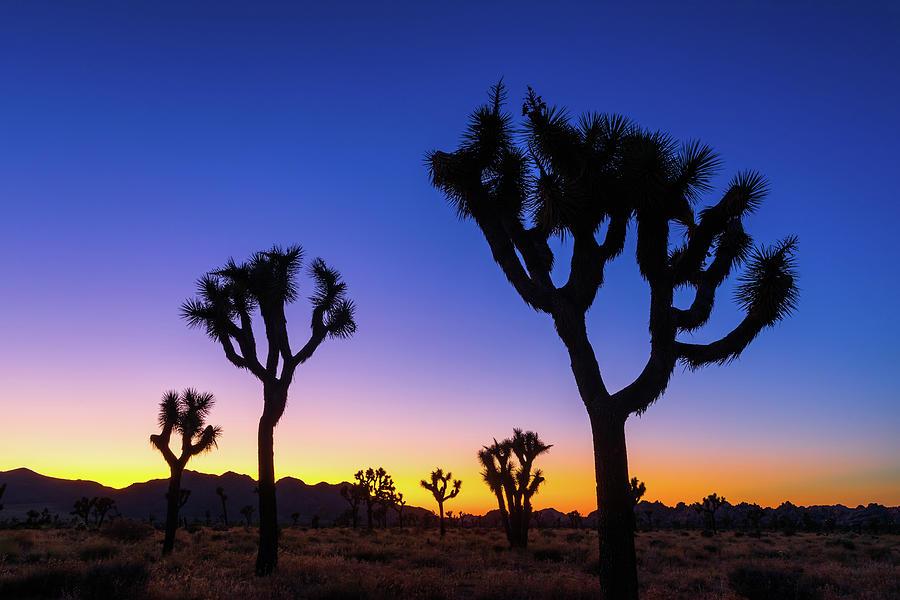 Joshua Tree Silhouettes Photograph