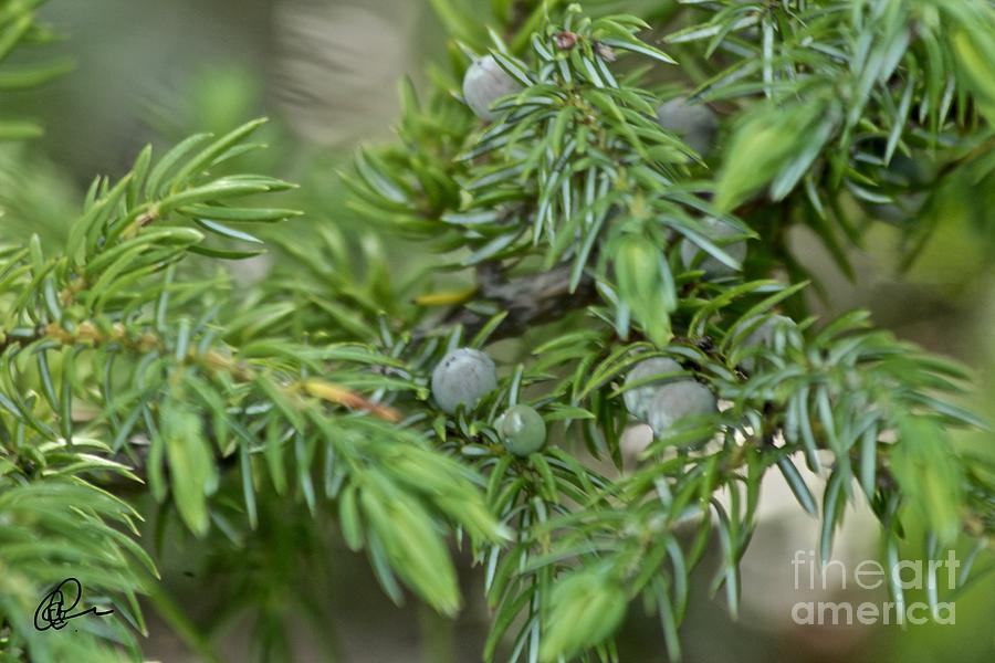 Juniper Buds by Ann E Robson