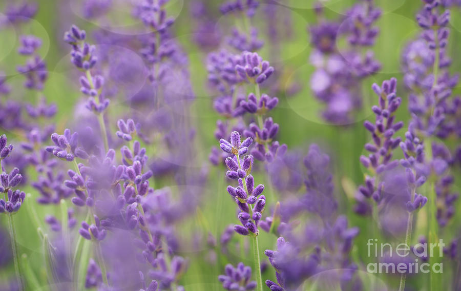 Just A Hint Of Lavender Photograph