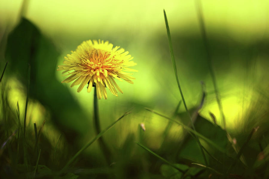 Just Another Dandelion Photograph