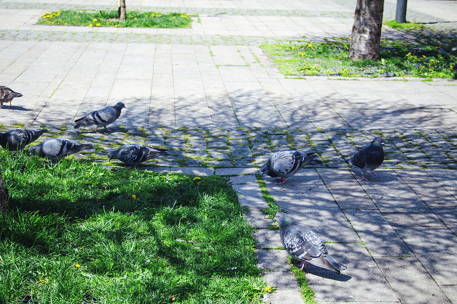 Just Another Day Of A Pigeon Life Photograph