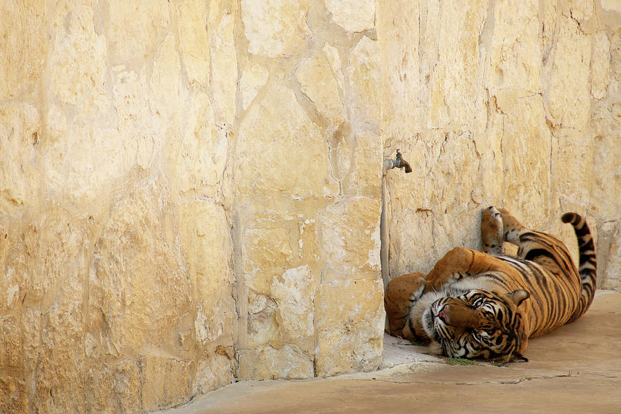 Tiger Photograph - Just Chillin by Melissa Southern